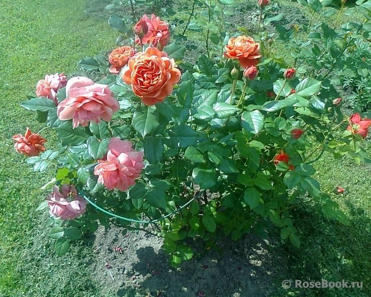 Роза саммер романс энциклопедия роз