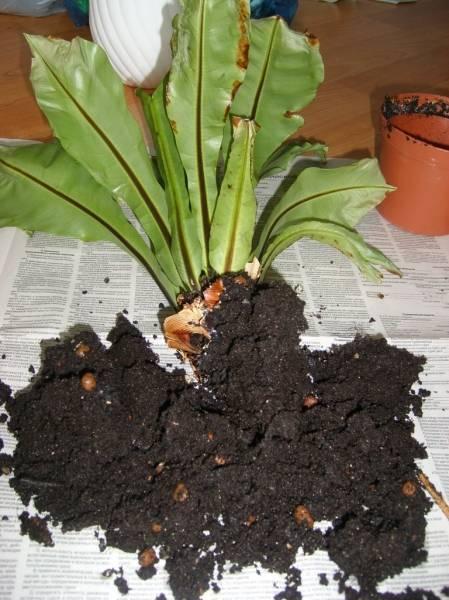 Асплениум нидус: примеры основных сортов и условия для цветения в доме