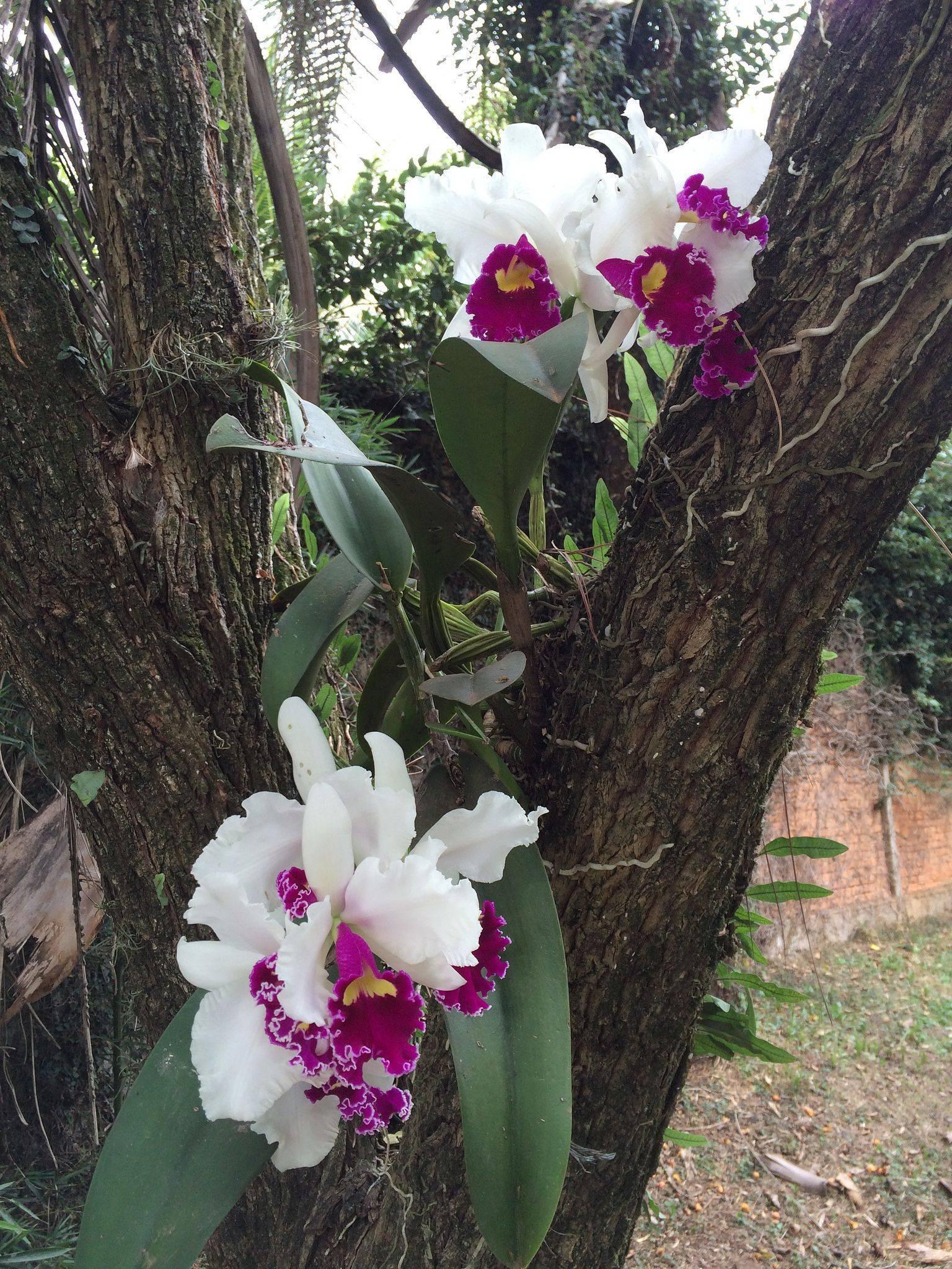 Родина растения орхидея: страна и история происхождения комнатного цветка. где растет домашняя орхидея?