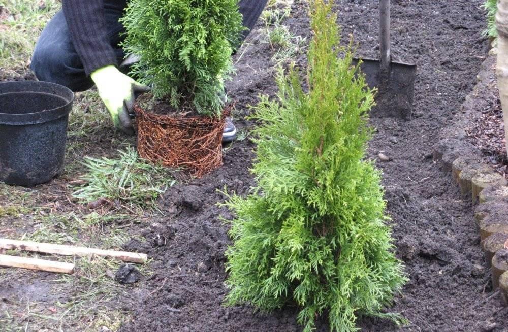 Как посадить тую в открытый грунт: технология выращивания