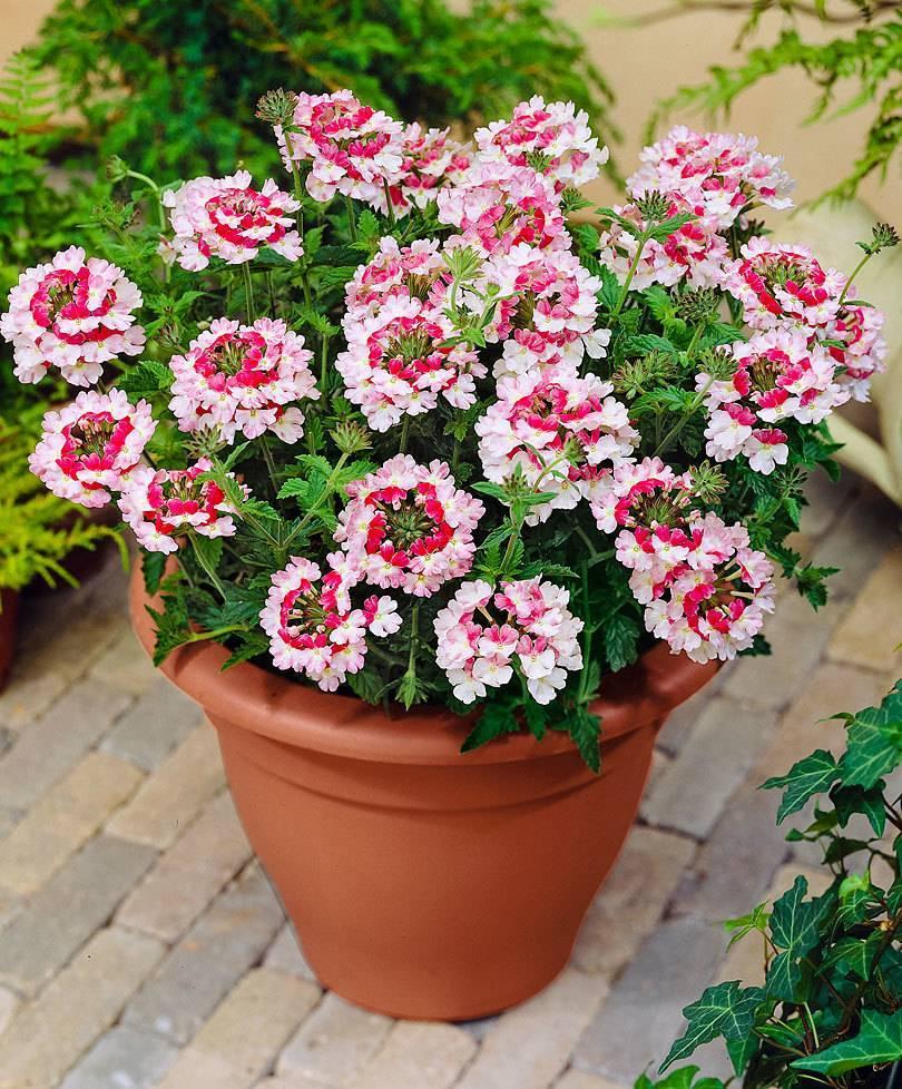 Вербена: посадка и уход, фото цветов в открытом грунте, а также как сохранить и выращивать зимой?