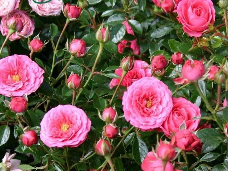 Миниатюрный полиантовый сорт розы морсдаг: что это за цветок, как выращивать