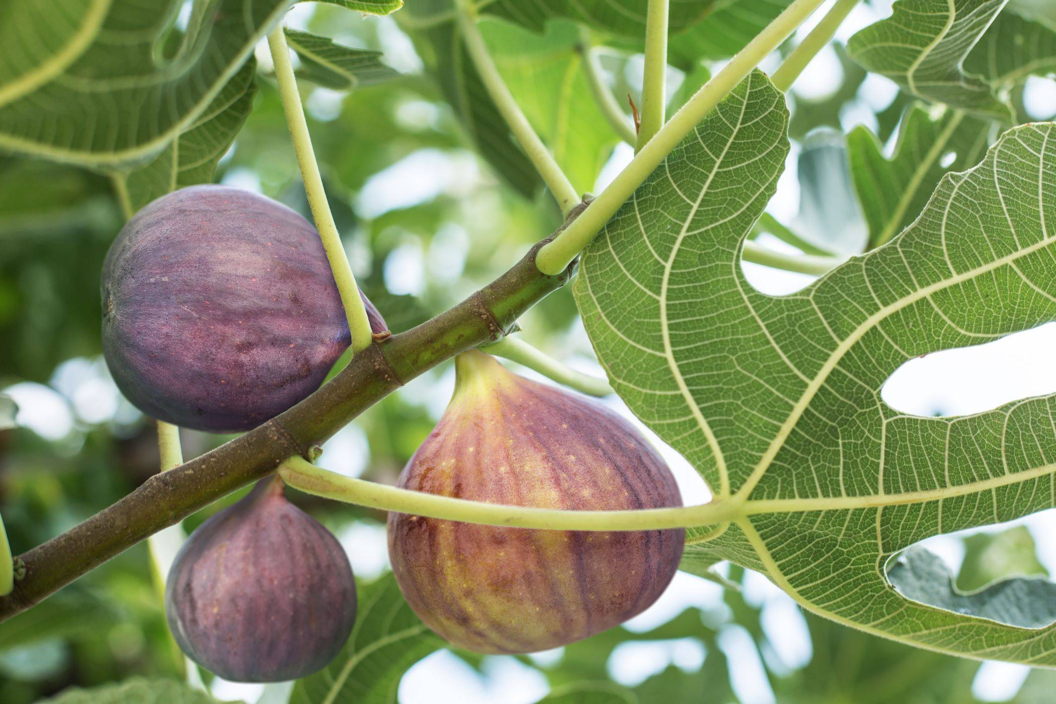 Инжир - это фрукт или ягода? что такое инжир или фига