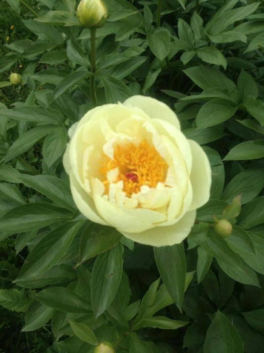 Пион йеллоу краун (paeonia yellow crown)