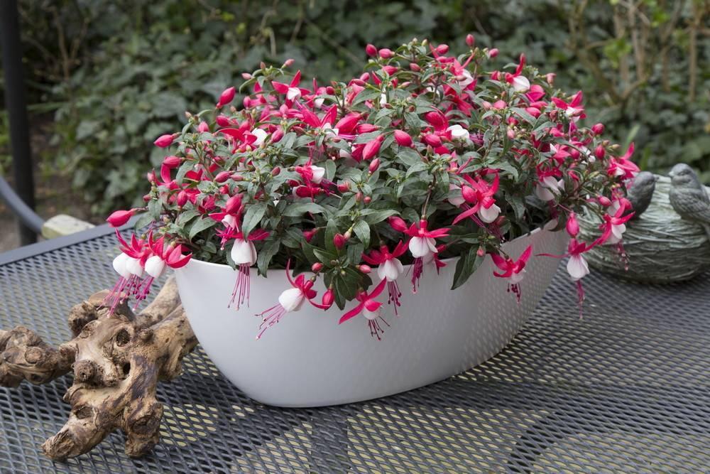 Цветок фуксия: уход, размножение, выращивание из семян и посадка / пересадка фуксии. сорта фуксии - гибридная, ампельная.