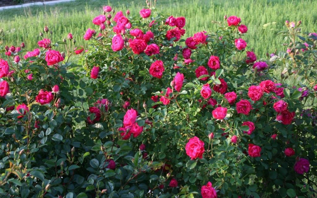 Роза джон дэвис (john davis)