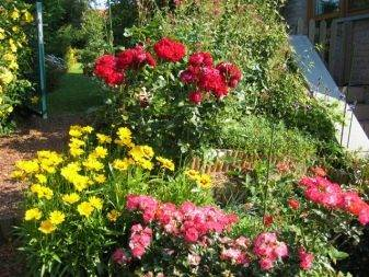 Мини-флорибунда: 10 сортов для небольшого цветника + фото и описание