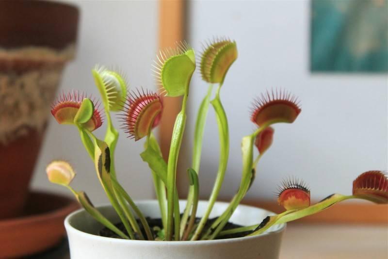 Венерина мухоловка в домашних условиях, фото, видео и размножение