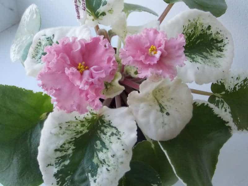 Отвечаем на вопрос, когда цветут фиалки