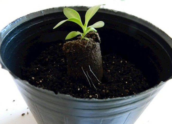 Выращивание эустомы из семян в домашних условиях: пошаговая инструкция с фото и видео + отзывы
