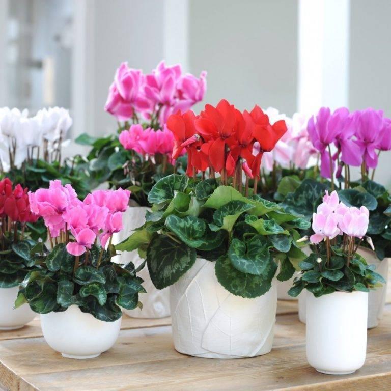 Цикламен персидский (36 фото): уход в домашних условиях после покупки. в чем отличия от европейского цикламена? выращивание цветка из семян. сорта «виктория» и «барбаросса»