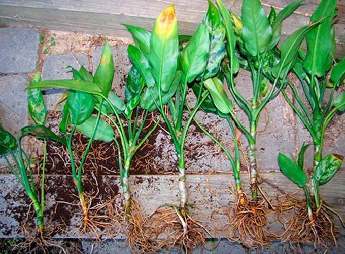 Комнатный цветок аглаонема: сорта, фото иправила ухода