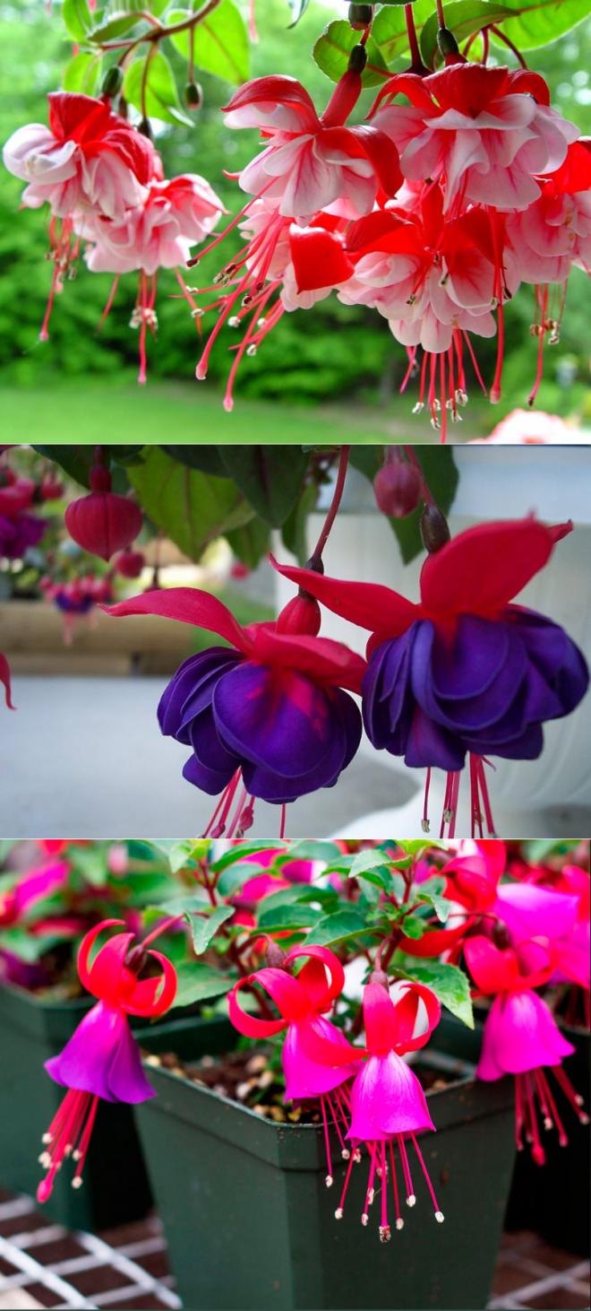 Уход и выращивание фуксии, а также как правильно сформировать растение кустом, при каких условиях происходит размножение и возможные болезни цветка