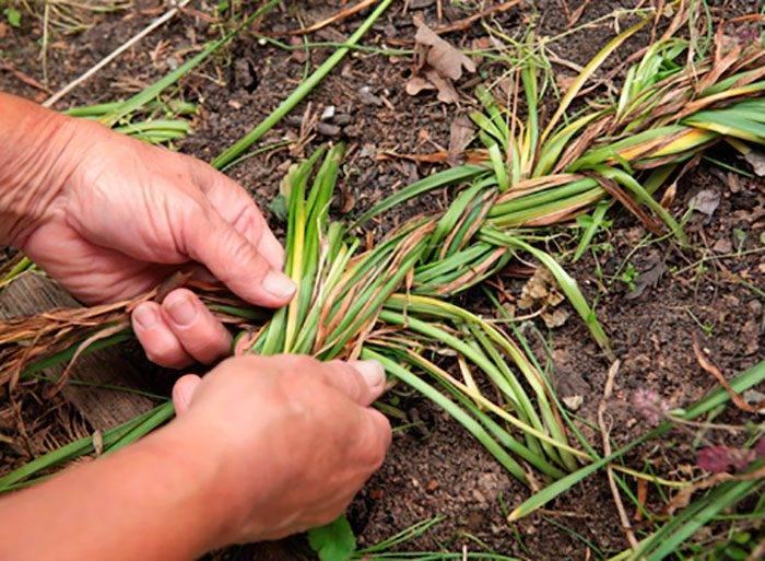 Лилейник (100 фото): посадка и уход за цветами в открытом грунте. чем подкормить красоднев в саду? способы размножения