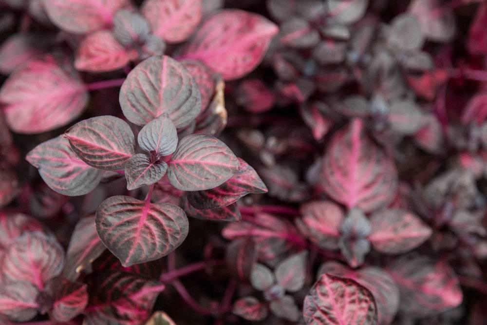 """""""ирезине"""": описание растения, виды, фото и уход в домашних условиях, выращивание"""