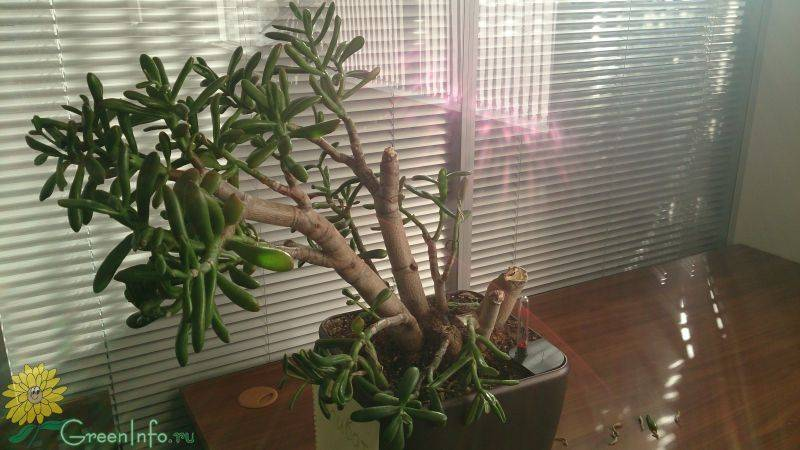 Уход за крассулой овата в домашних условиях: как цветет комнатное растение