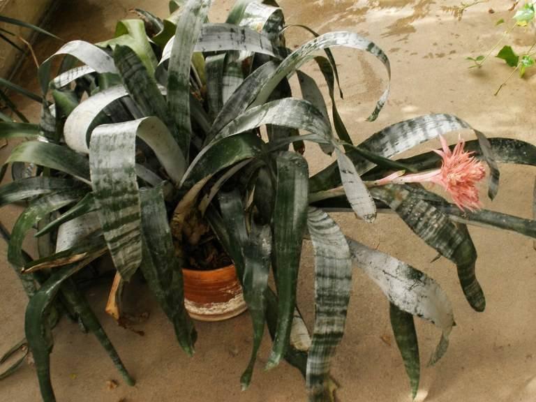 Эхмея полосатая: описание, уход и размножение