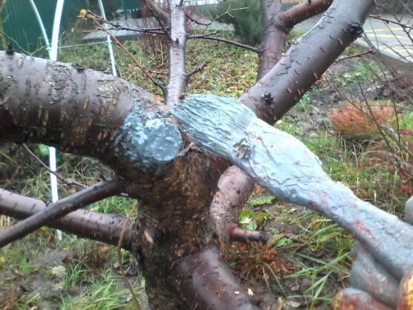Когда обрезать деревья и чем замазать спилы на плодовых деревьях