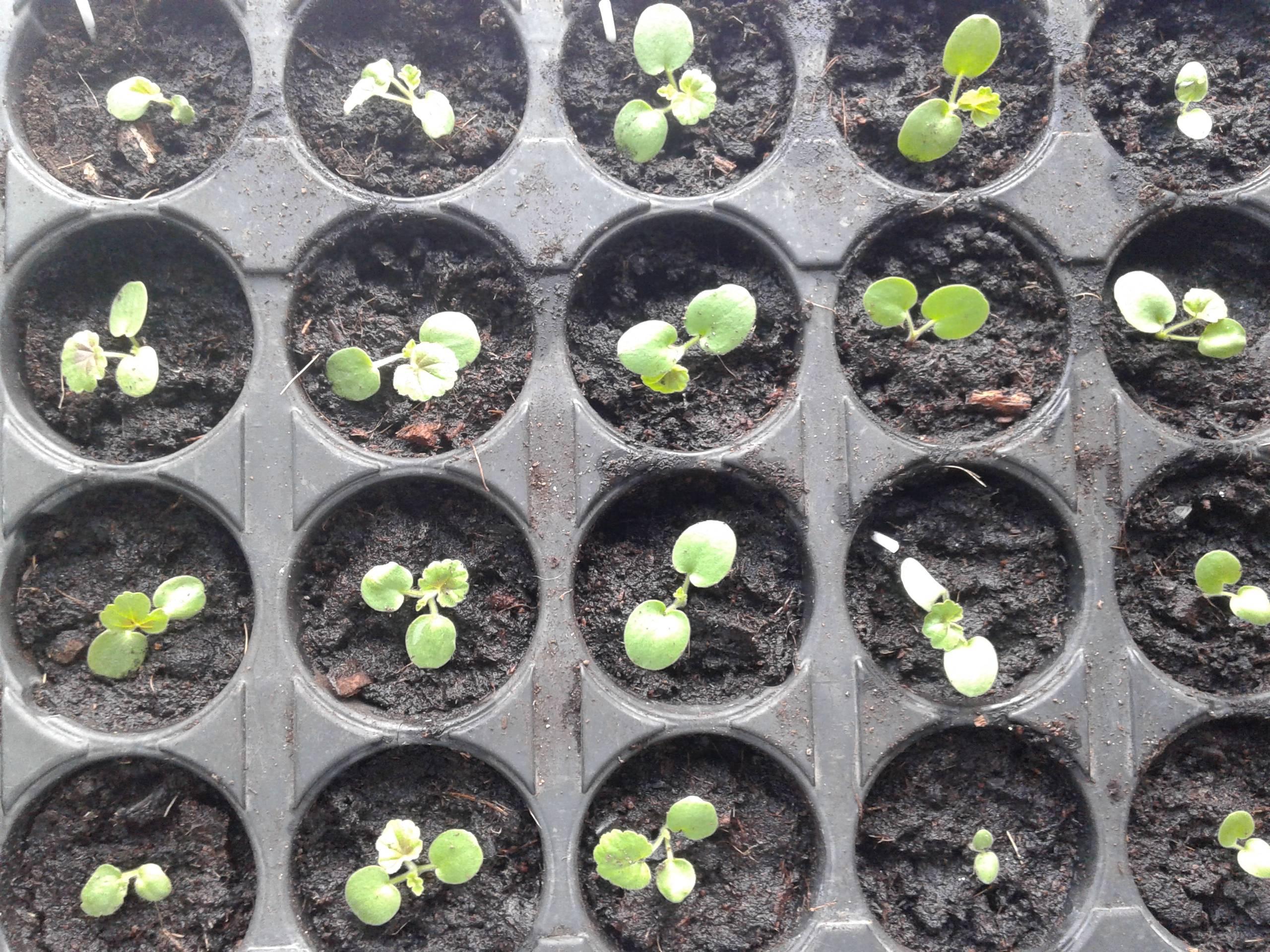 Пеларгония из семян в домашних условиях: особенности разведения