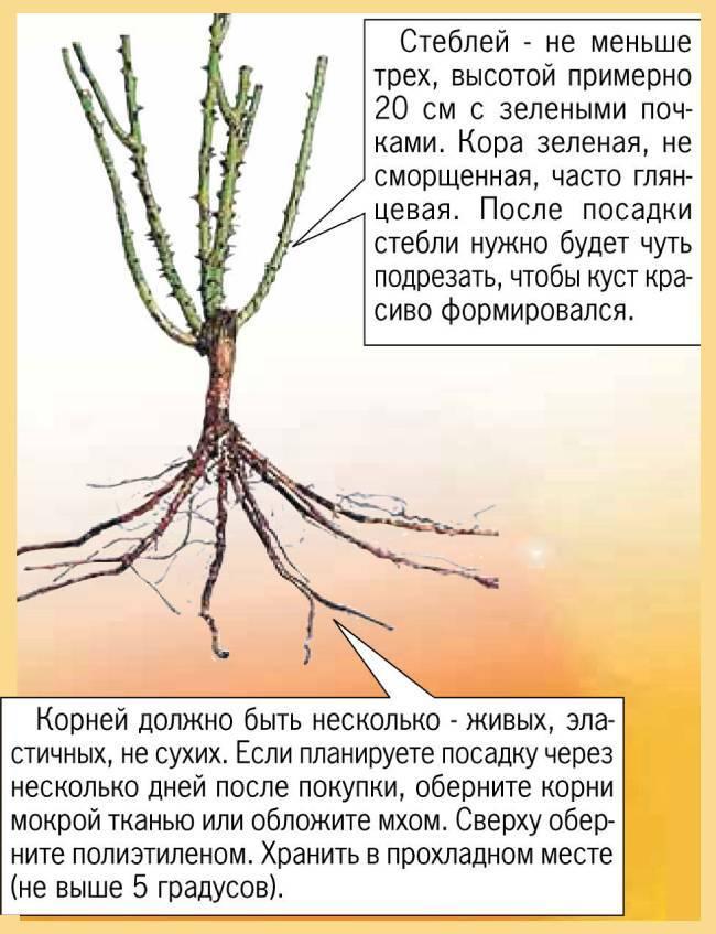 Посадка роз осенью в открытый грунт: пошаговая инструкция для новичков