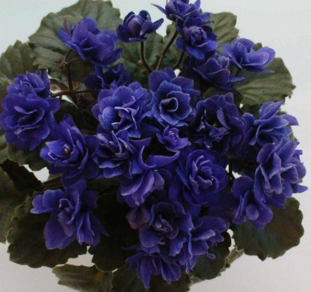 Ликорис цветок (lycoris) — значение растения в различных культурах