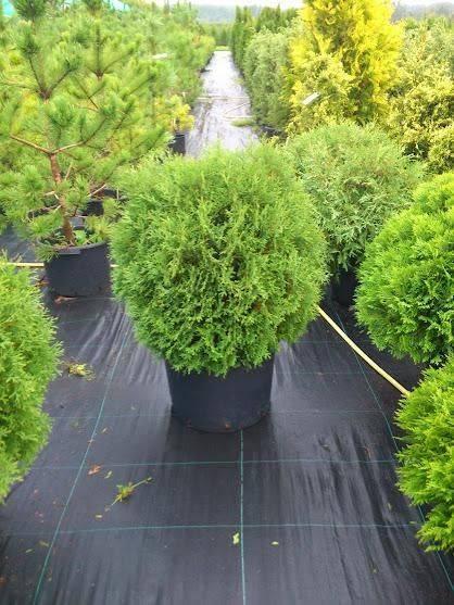Туя западная тини тим: выигрышное растение для дизайна сада