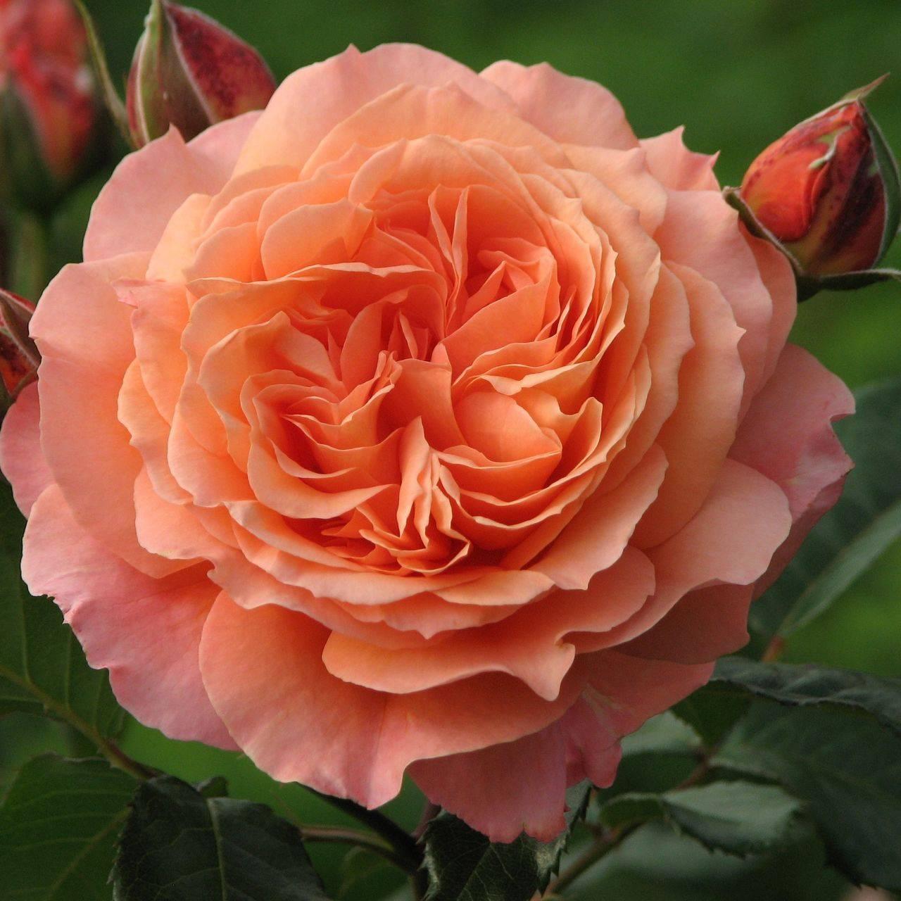 7 лучших зимостойких сортов роз для сибири