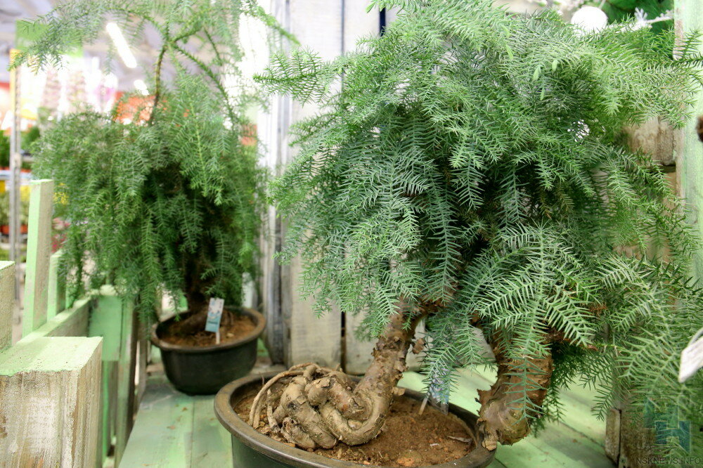 Араукария araucaria - виды, уход и проблемы выращивания