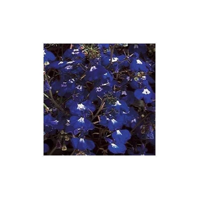 Лобелия каскадная (18 фото): пурпурно-красная и белая, синяя и лиловая разновидности, уход и выращивание