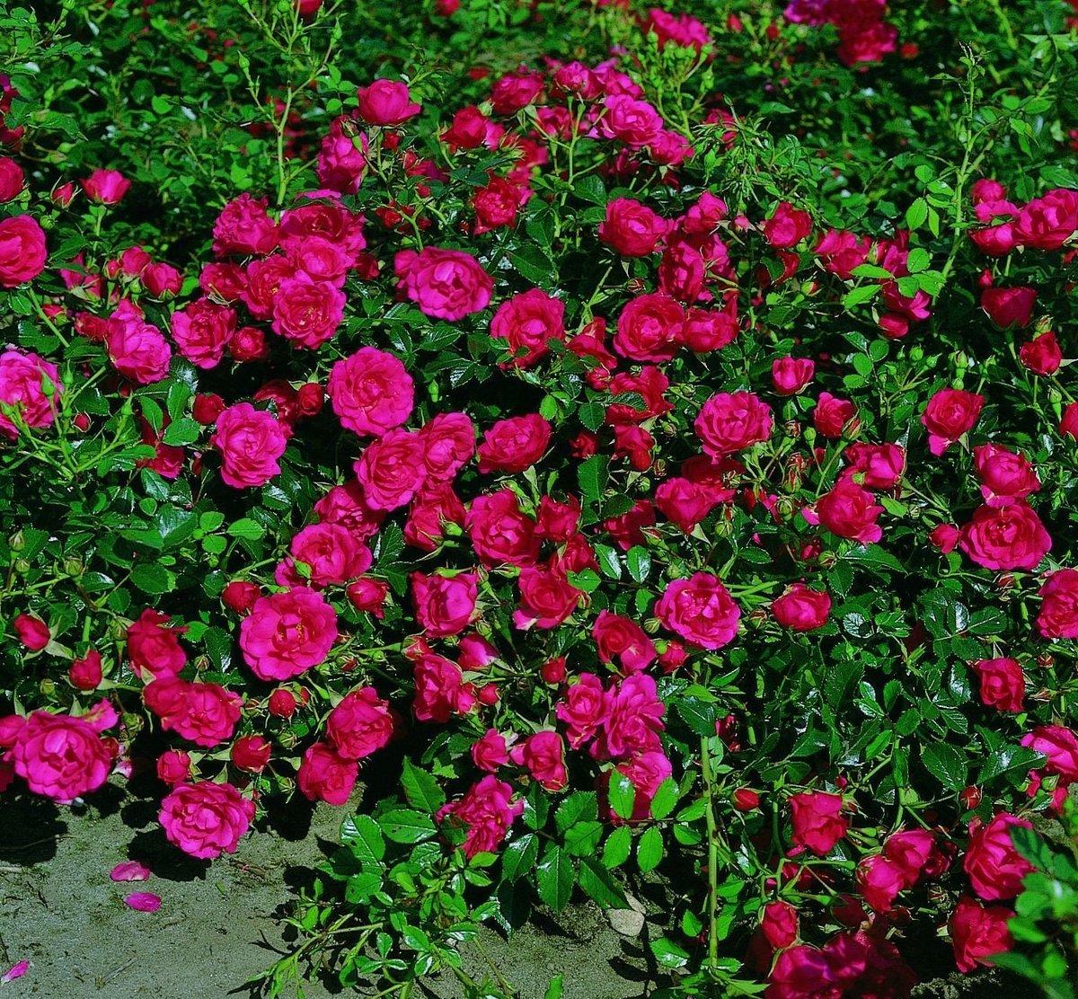 Почвопокровные розы в дизайне сада - фото лучших сортов, посадка, уход