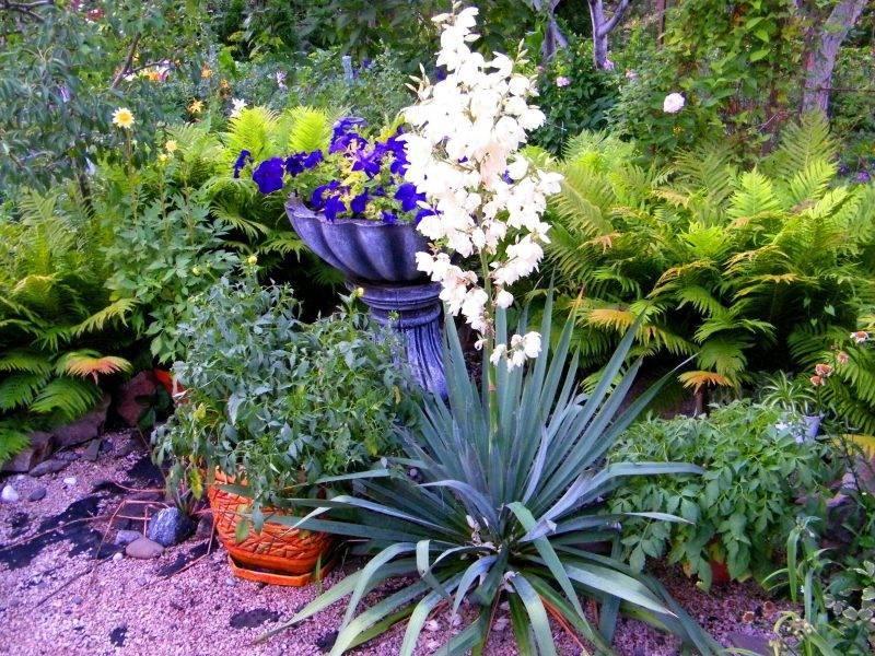 Амариллис садовый многолетний: посадка, выращивание и уход