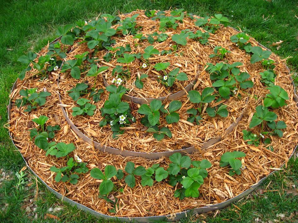 Можно ли мульчировать розы опилками весной