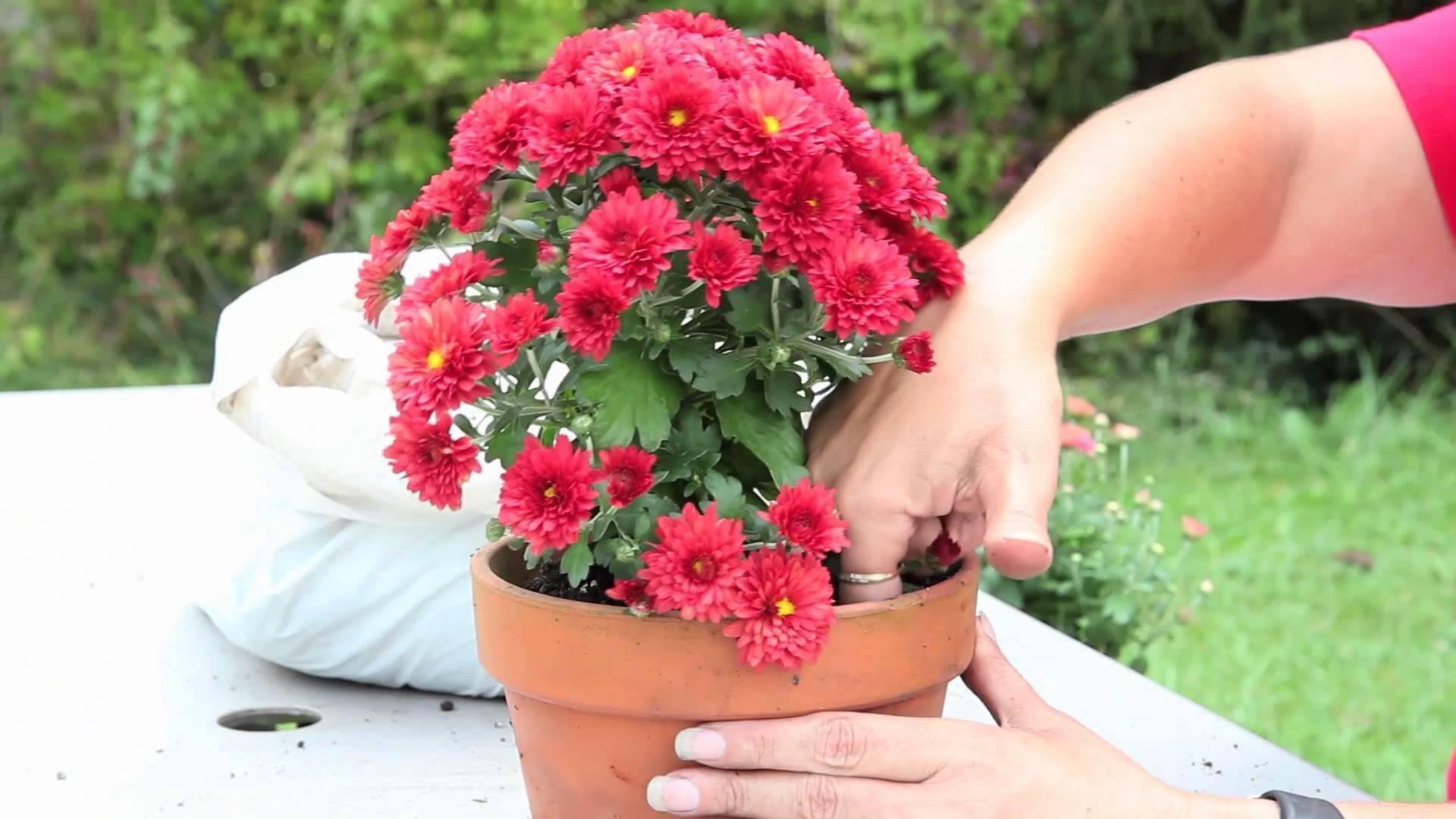 Хризантема в горшке: уход в домашних условиях
