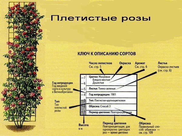Парковая грандифлора терракота: что это за сорт, характеристики шраба