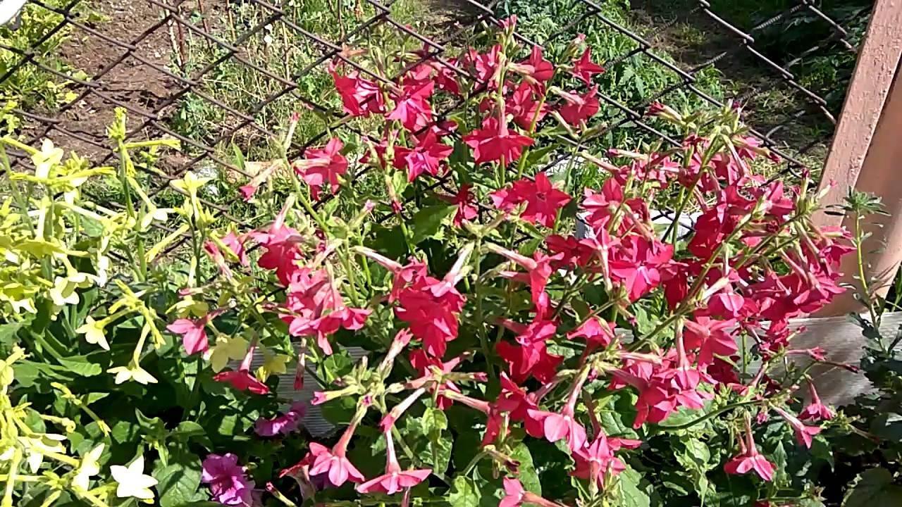 Душистый табак: посадка и уход, выращивание из семян рассадой, фото