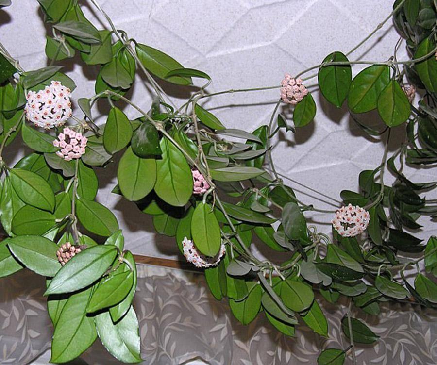 Что такое хойя и можно ли выращивать этот цветок дома