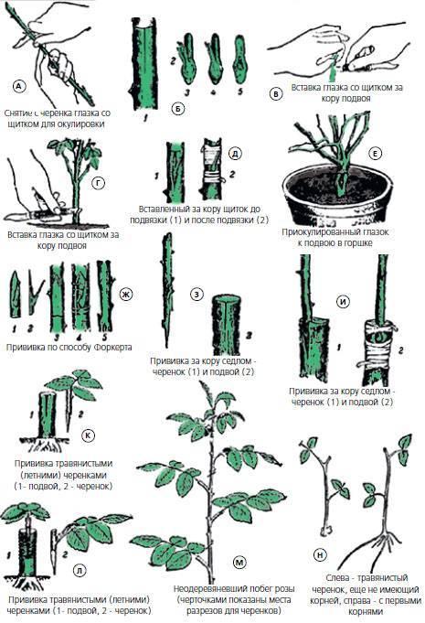 Выращивание корнесобственных роз. корнесобственные розы. плюсы и минусы. так что же лучше