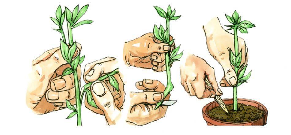 Как посадить и ухаживать за очитком
