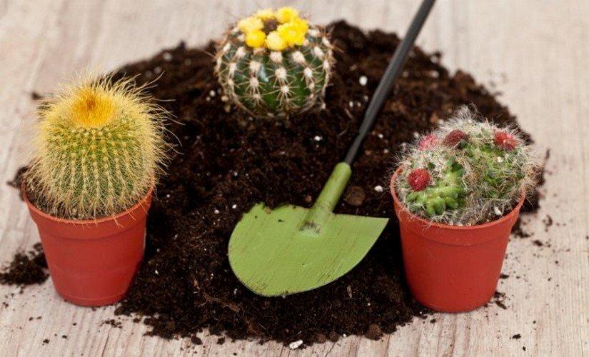 Размножение кактусов черенками и прививкой - энциклопедия цветов