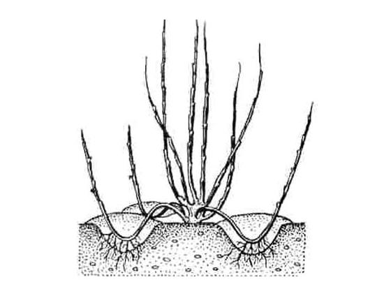 Краснолистный фундук — как выглядит лещина краснолистная