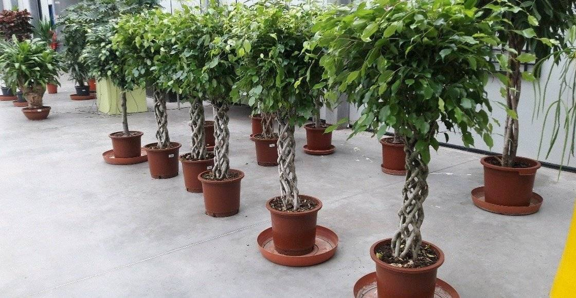 Фикус бенджамина: уход в горшке и размножение комнатного растения