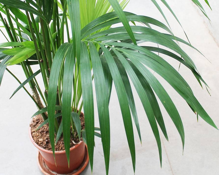Экзотическая пальма ховея – уход в домашних условиях