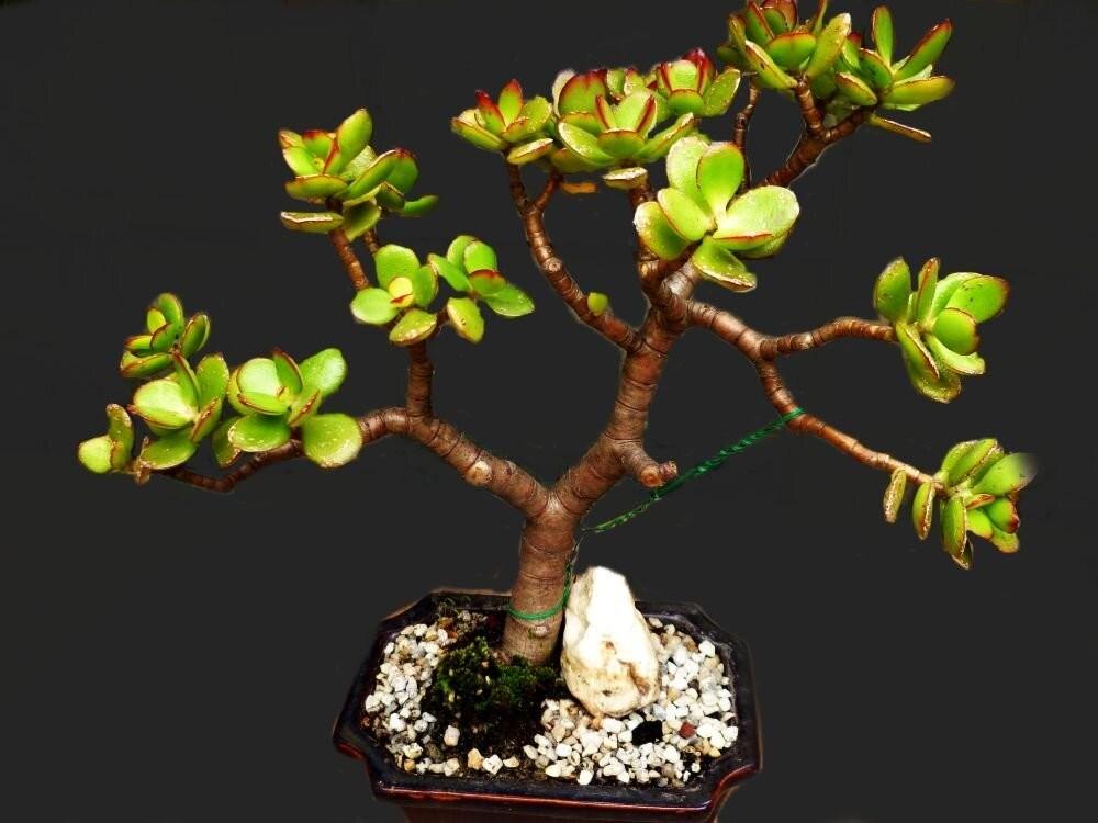 Денежное дерево – выращивание в домашних условиях