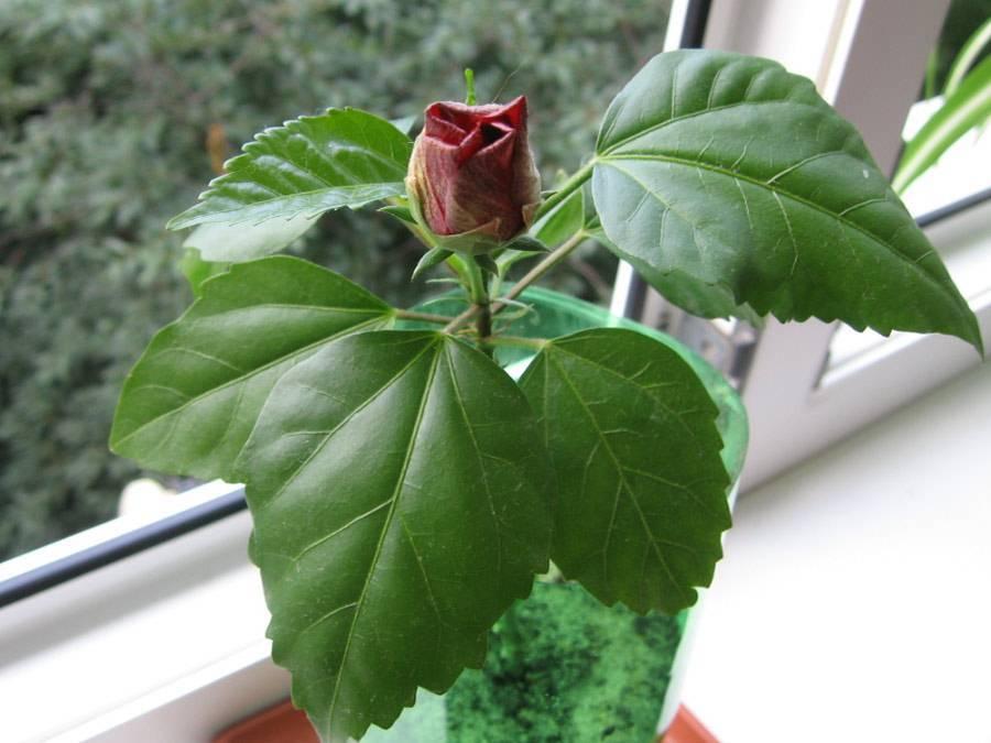Как выращивается штамбовая роза