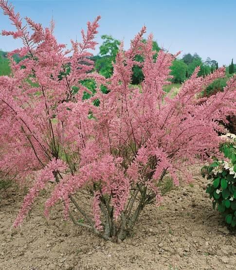Тамарикс: правила посадки и секреты ухода для обеспечения обильного цветения, красочные фото