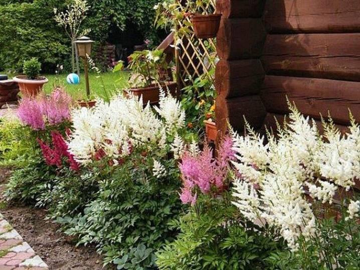 Цветок астильба: посадка и уход в открытом грунте, фото астильбы, подготовка астильбы к зиму