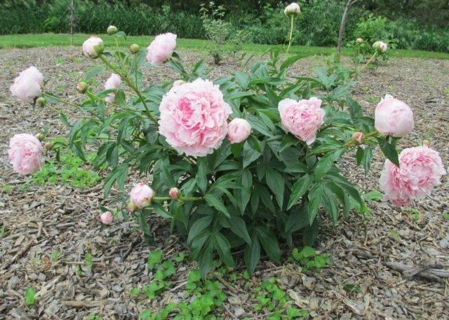 Описание травянистого пиона месье жюль эли. особенности посадки и ухода за цветком