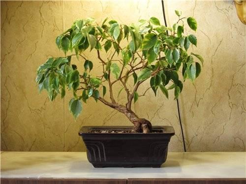 Бонсай из фикуса (43 фото): как сделать дерево из микрокарпа? уход в домашних условиях. что делать, если растение сбрасывает листья?