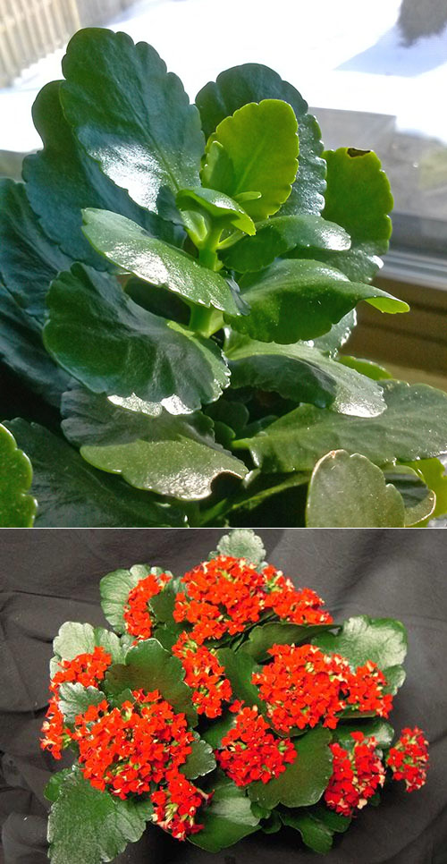 Каланхоэ Блоссфельда — особенности ухода за цветком