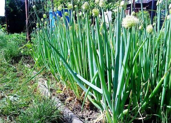 Когда и как сажать декоративный лук, размножение, выращивание в открытом грунте